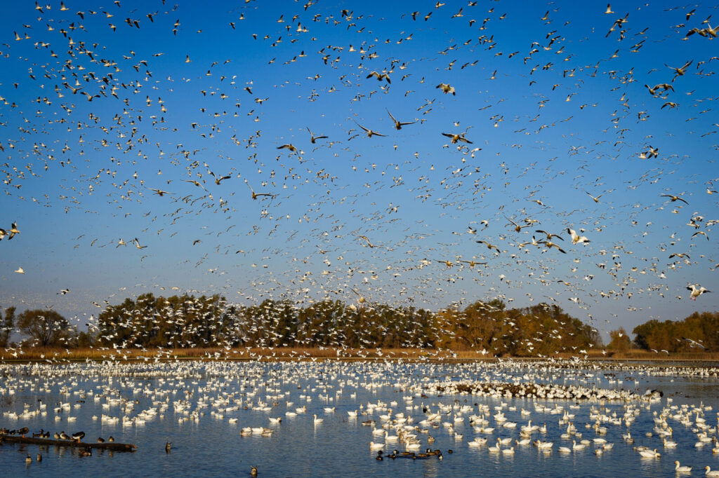 large flock of birds taking off from lake