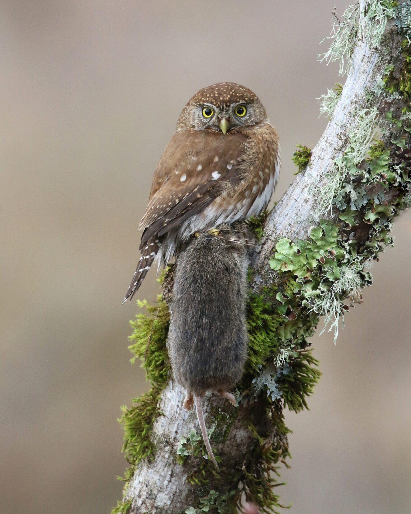 Pigmy-owl holding vole prey on lichen-covered tree branch