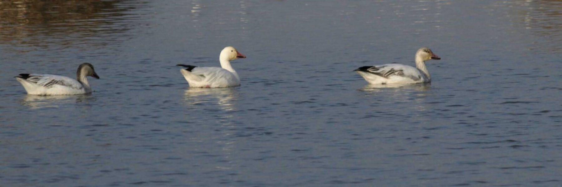 Ducks swimminmg