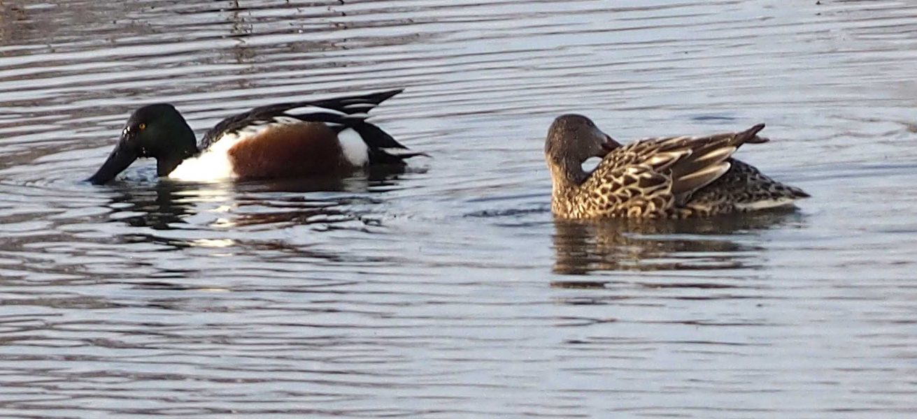 Male and female Northern Shoveler