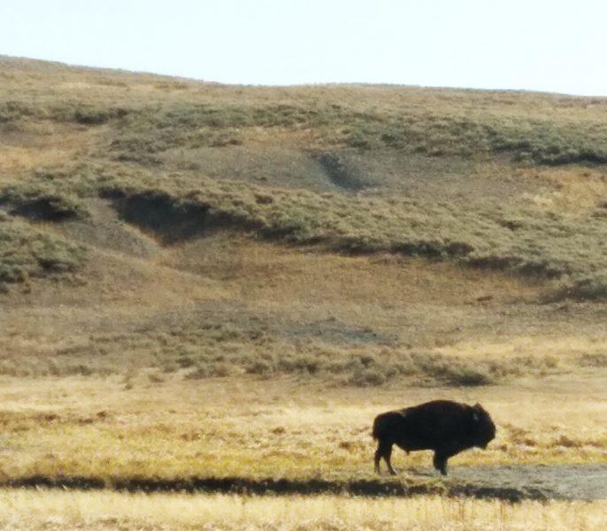 Lone Buffalo on the Yellowstone Plateau